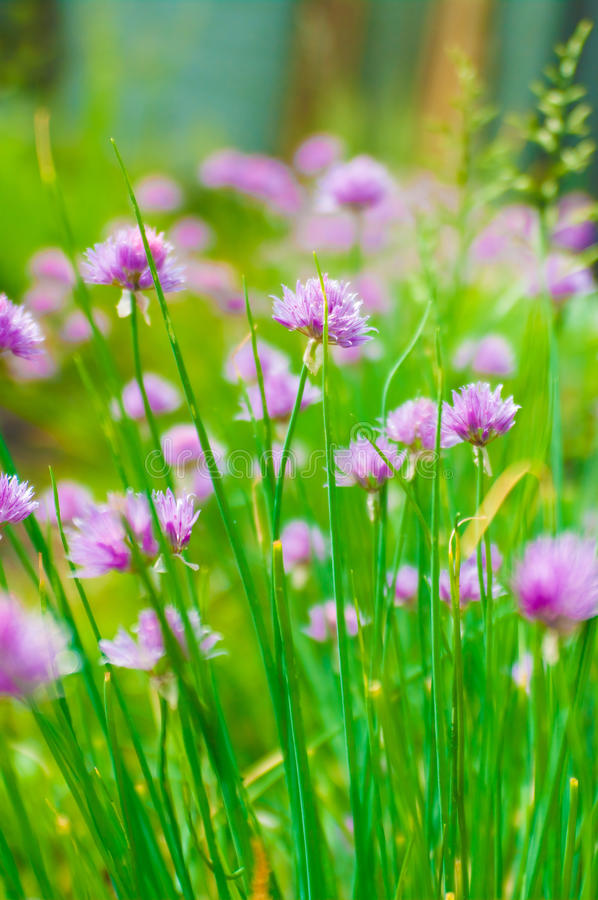 Chive flowers. Flowers from the chive plant in bloom stock photo