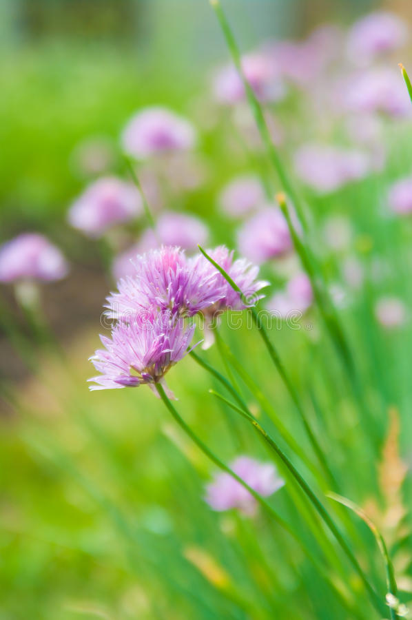 Chive flowers. Flowers from the chive plant in bloom royalty free stock image