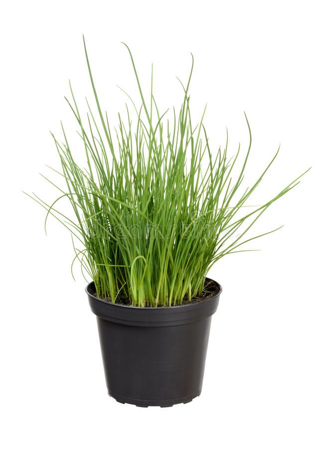 Chive. Fresh chive in plant pot stock photo