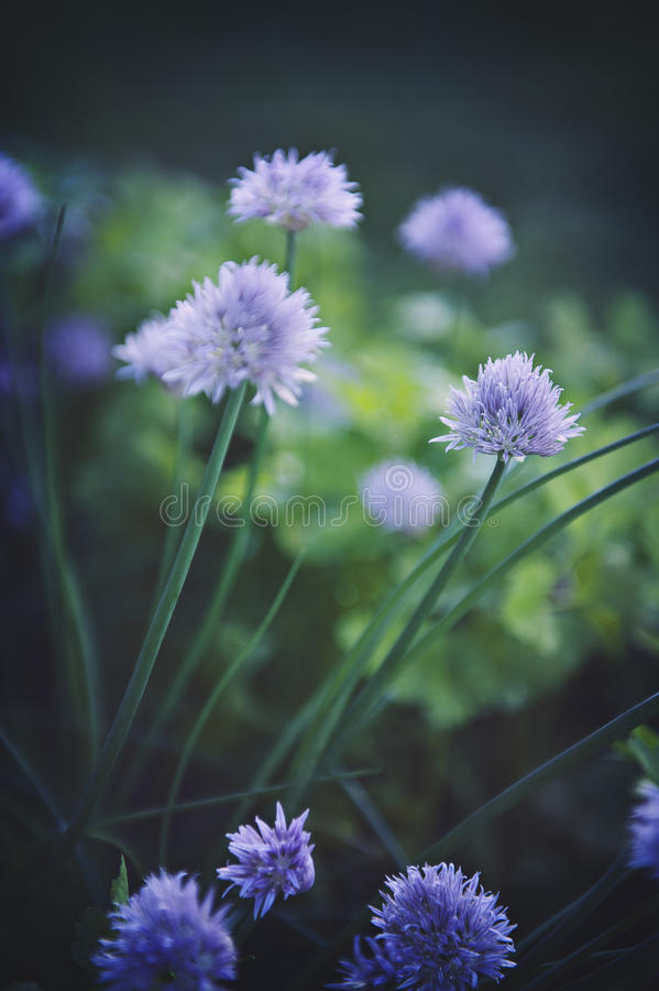 Chive Garden. My purple chive onion flowers in my herb garden royalty free stock photos