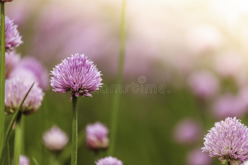 Chive herb blooming in spring time, agriculture field. Blooming chive herbs on a field. Agriculture field in the blurry background, chives, herbage, purple stock images