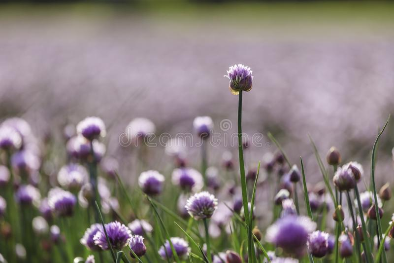 Chive herb blooming in spring time, agriculture field. Blooming chive herbs on a field. Agriculture field in the blurry background, chives, herbage, purple stock photo