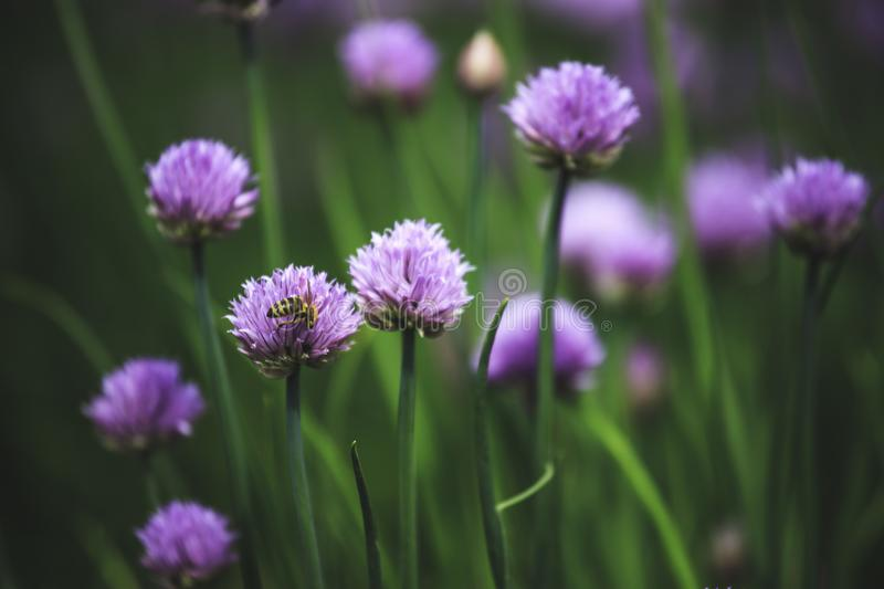 Chive herb blooming in spring time, agriculture field. Blooming chive herbs on a field. Agriculture field in the blurry background, chives, herbage, purple royalty free stock image