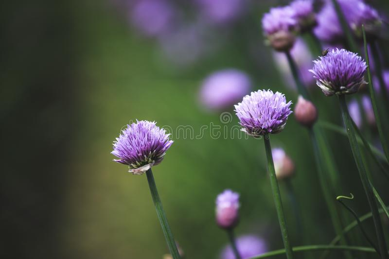 Chive herb blooming in spring time, agriculture field. Blooming chive herbs on a field. Agriculture field in the blurry background, chives, herbage, purple stock photography