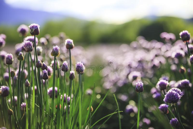 Chive herb blooming in spring time, agriculture field. Blooming chive herbs on a field. Agriculture field in the blurry background, chives, herbage, purple royalty free stock images