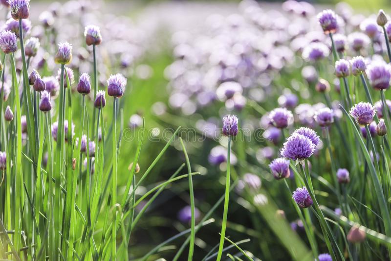 Chive herb blooming in spring time, agriculture field. Blooming chive herbs on a field. Agriculture field in the blurry background, chives, herbage, purple stock image