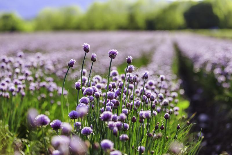 Chive herb blooming in spring time, agriculture field. Blooming chive herbs on a field. Agriculture field in the blurry background, chives, herbage, purple royalty free stock photo