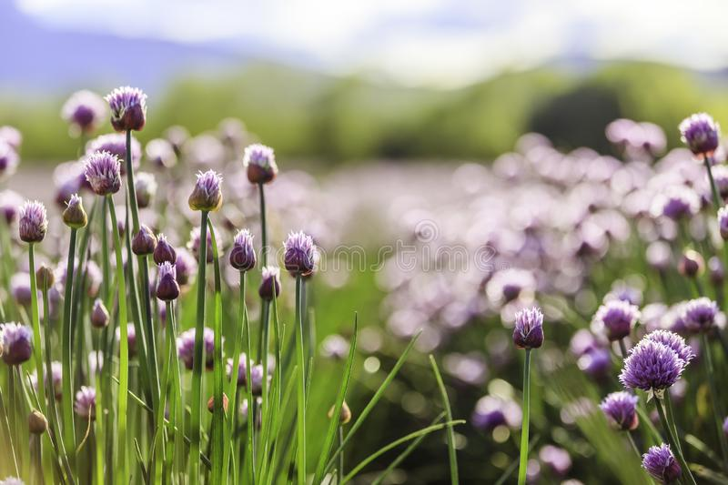 Chive herb blooming in spring time, agriculture field. Blooming chive herbs on a field. Agriculture field in the blurry background, chives, herbage, purple stock photos