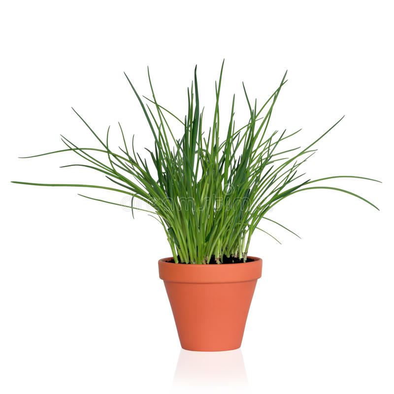 Chive Herb Plant. Chives herb plant growing in a terracotta pot, isolated, over white background stock photography