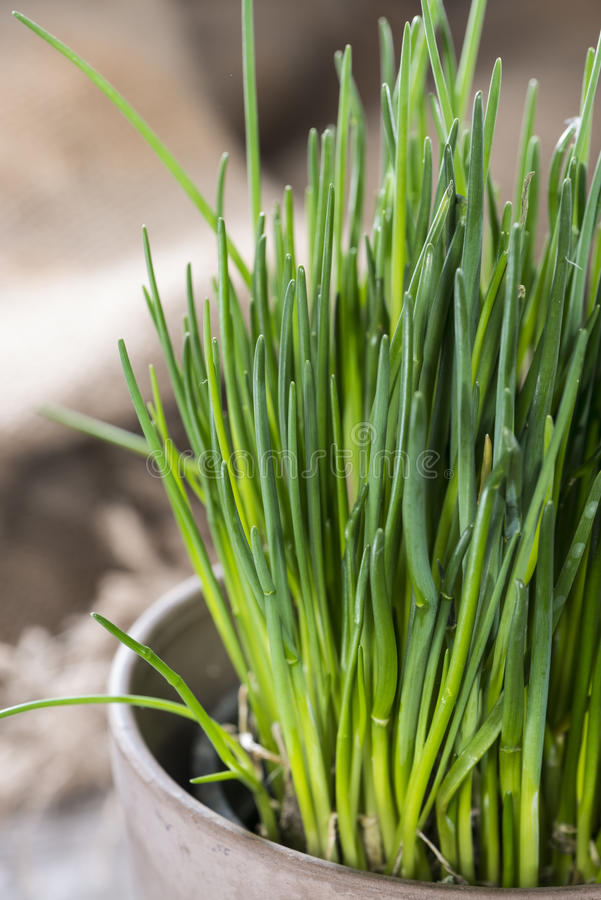 Chive plant (close-up shot). Fresh Chive plant on vintage background (close-up shot royalty free stock image