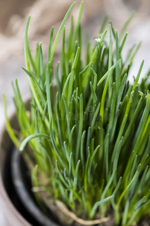 Chive plant (close-up shot). Fresh Chive plant on vintage background (close-up shot stock images