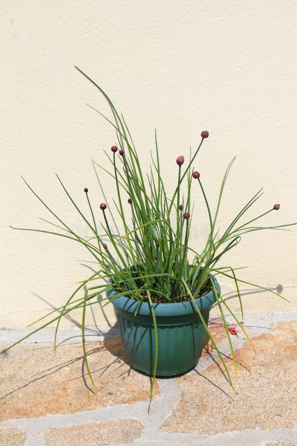 Chive plant in a flower pot. Chive plant with purple buds in a green flower pot in a garden stock photography