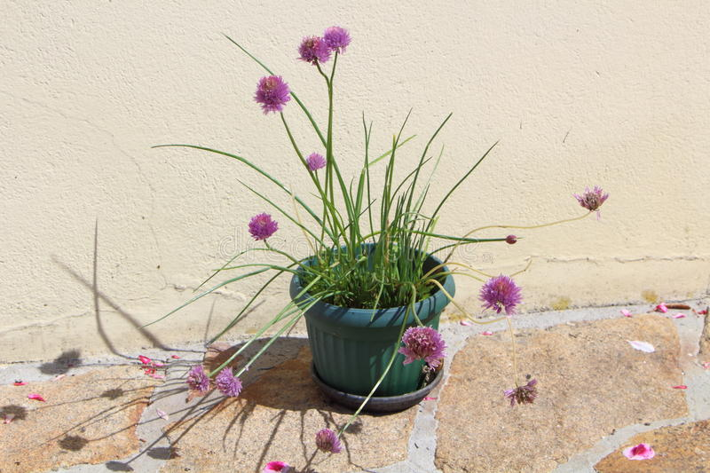 Chive plant in a flower pot. Chive plant with purple flowers in a plastic flower pot royalty free stock photography