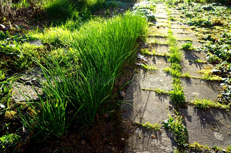 Chive and sidewalk - spring. Chive and sidewalk - green healthy plant for salat and soup royalty free stock photos