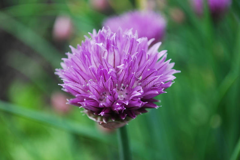 chives lizenzfreie stockfotos