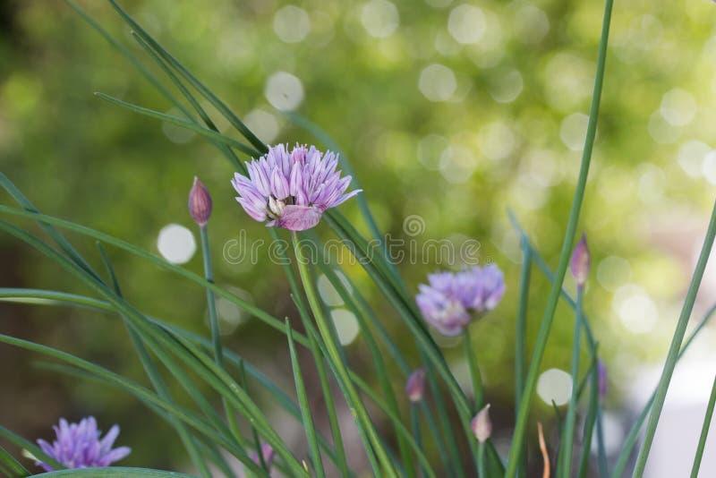 Chives Allium schoenoprasum fecha-se fotografia de stock royalty free