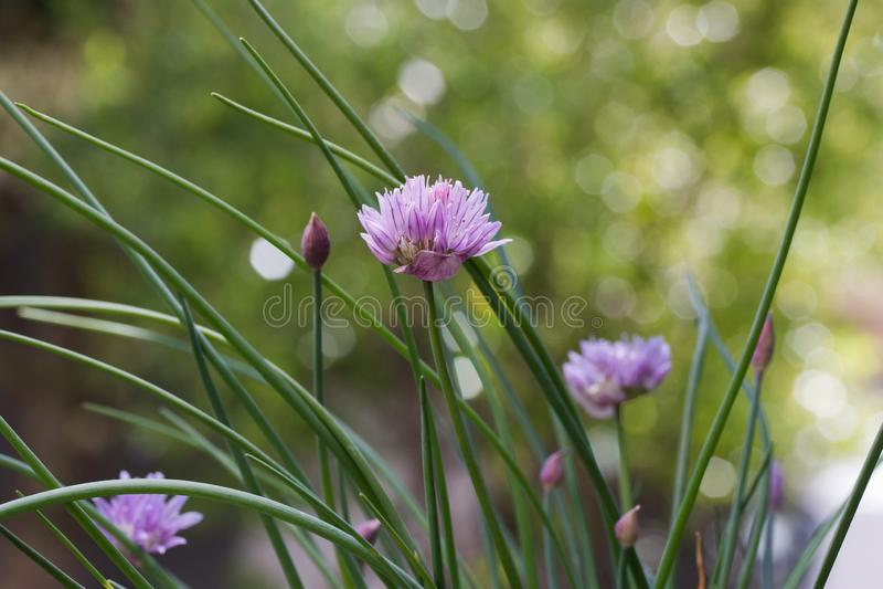 Chives Allium schoenoprasum fecha-se fotografia de stock
