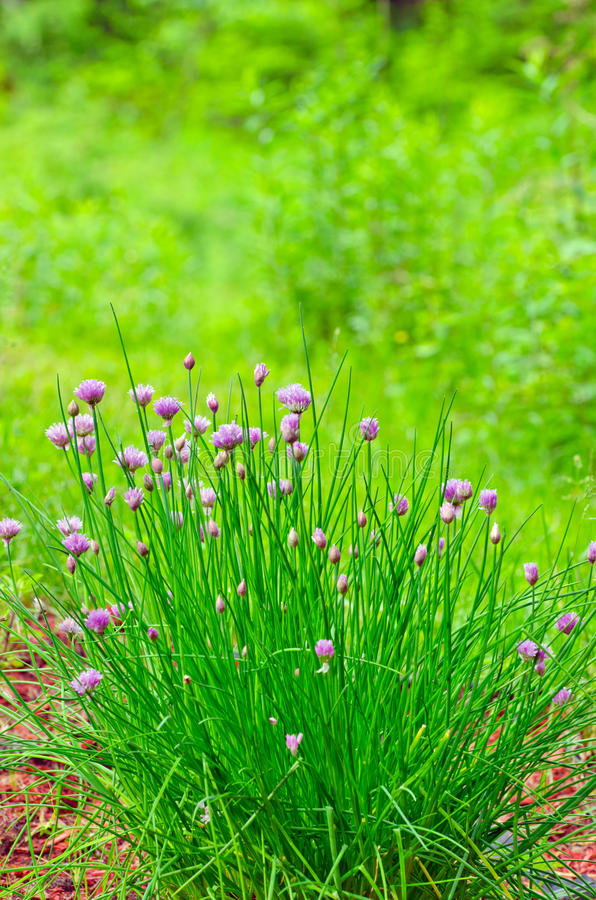 Fresh chives in Bloom (Allium schoenoprasum). Large fresh chive herb plant in full bloom royalty free stock photos