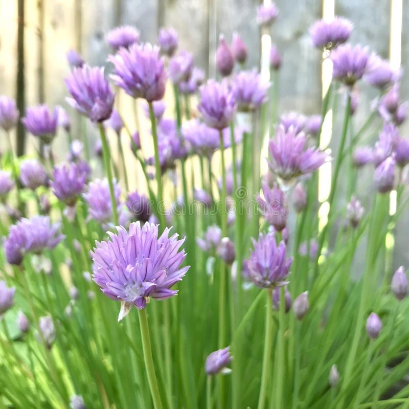 Chives in bloom. A chive plant in bloom royalty free stock image