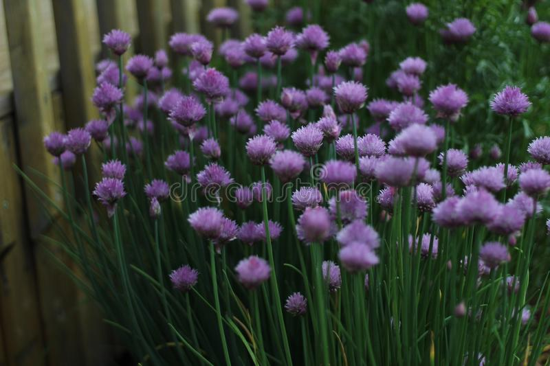 Chives In Bloom. The chive plant blooms into pretty purple blossoms. Bees and butterflies love the blossoms royalty free stock image