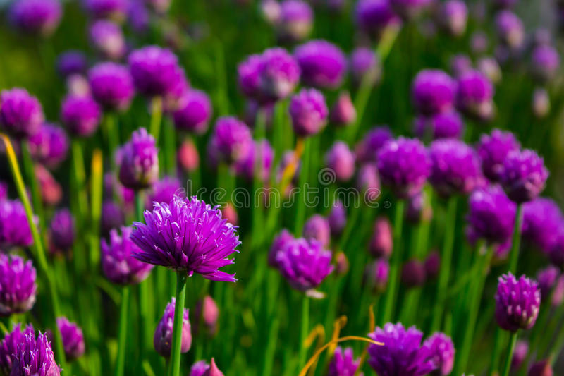 Chives in bloom royalty free stock image