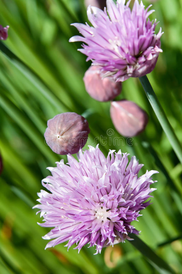 Chives blossoming in late spring. Closeup on purple flowers royalty free stock photo
