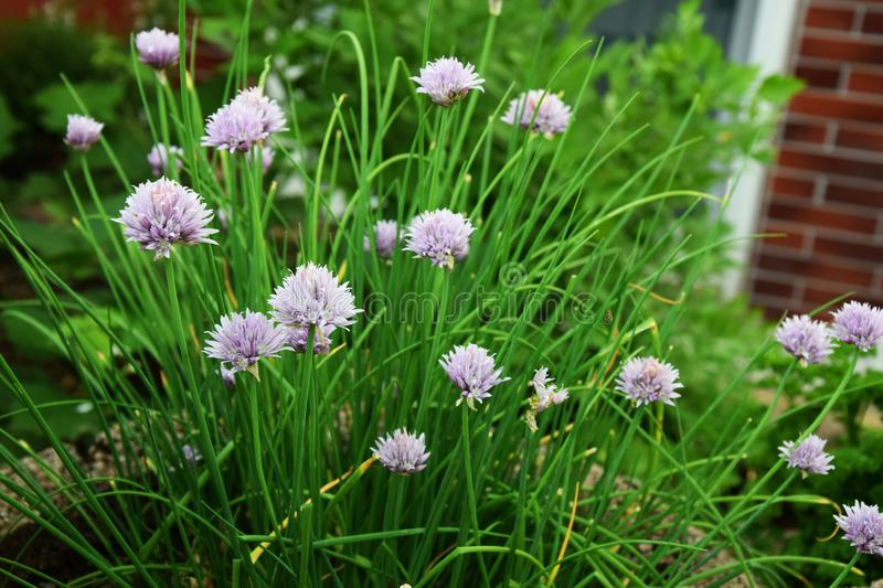Chives with blossoms - Garden herbs. Chives growing in the garden stock image