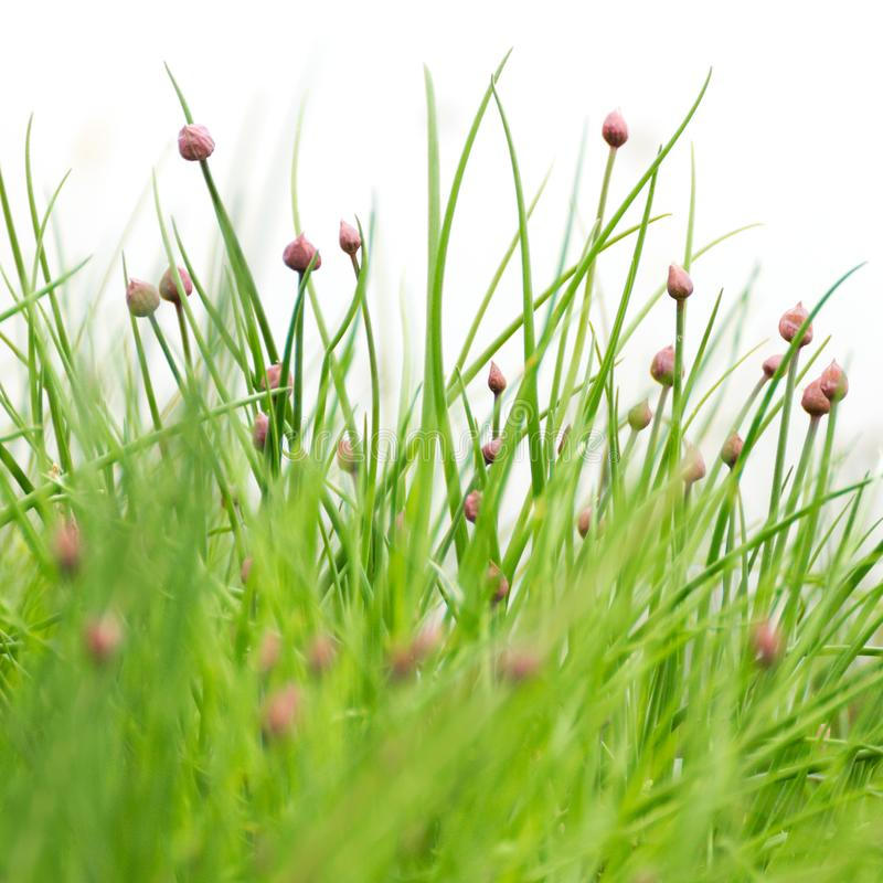 Chives with blossoms. Organic green food, gardening and herbs concept royalty free stock images