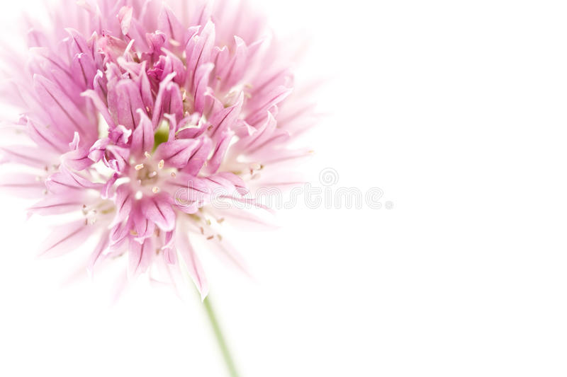 Chives With Copyspace Stock Photography