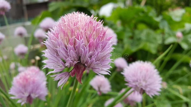 Chives flower royalty free stock photo