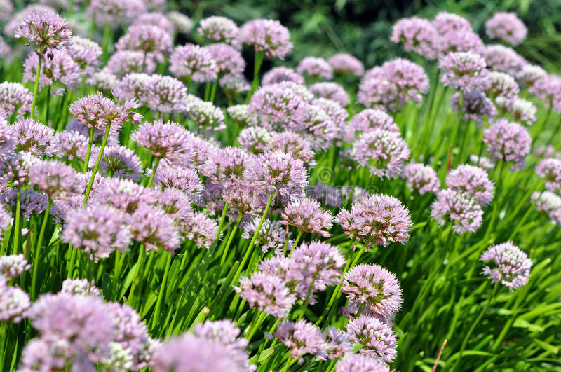 Download Chives flowers stock image. Image of garden, blooming - 34922623
