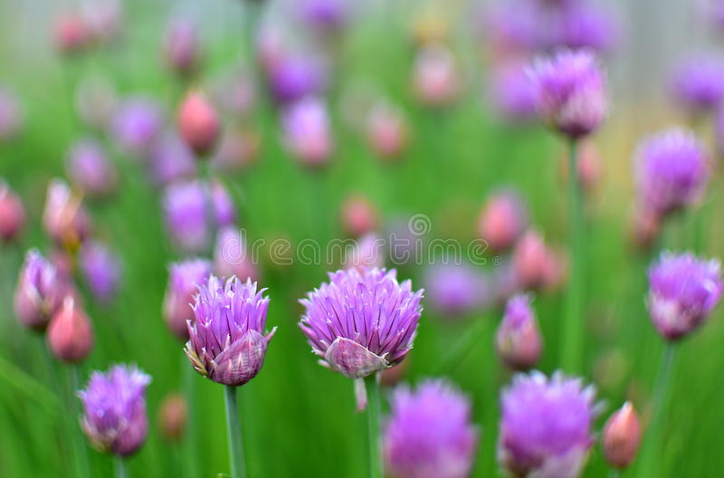 Chives growing. In the garden with blurred background stock photography