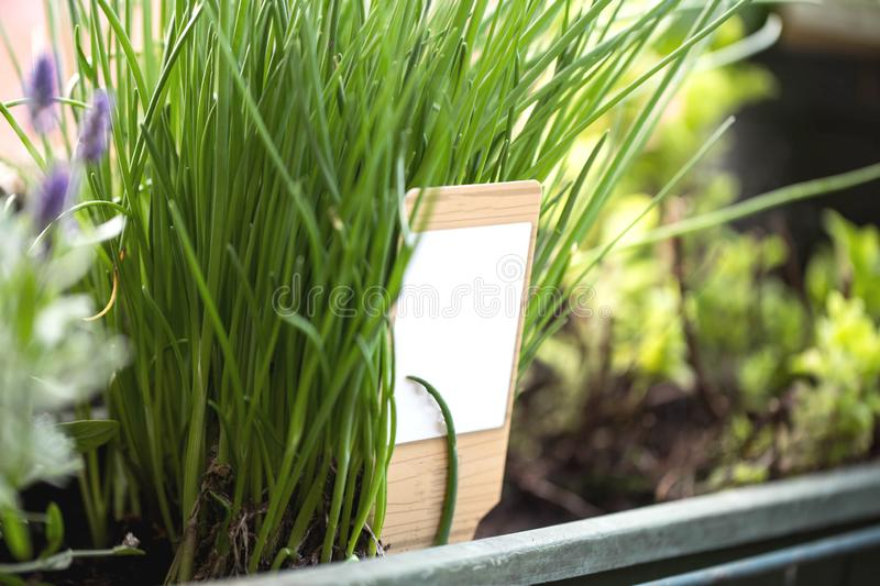 Chives growing in a garden, gardening herbs. Close-up stock images