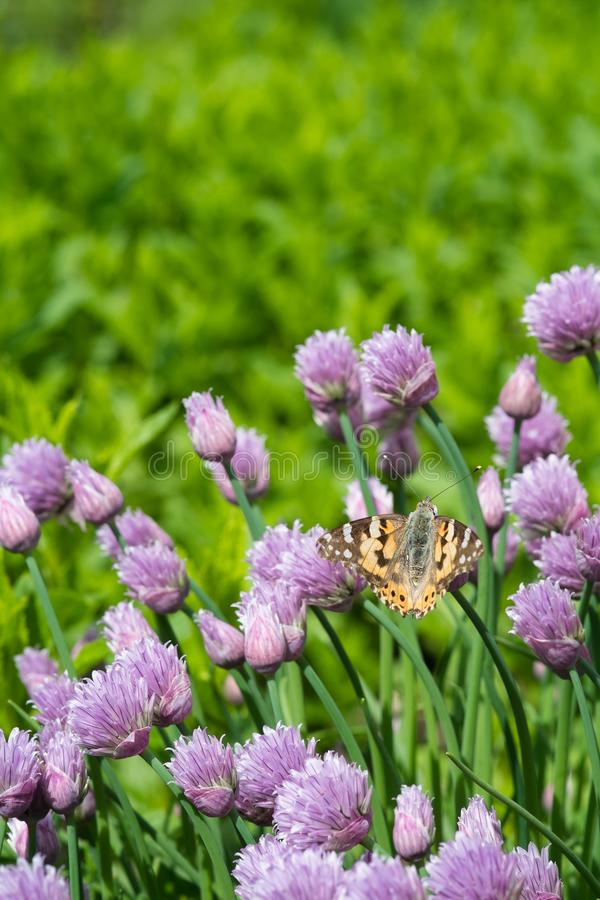 Chives and orange butterfly in the garden stock photography