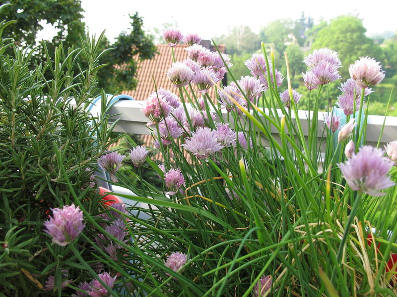 Chives and rosemary on balcony stock image