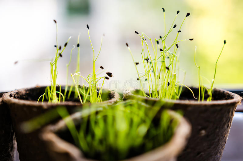 Chives sprouts. In biodegradable pots stock photography