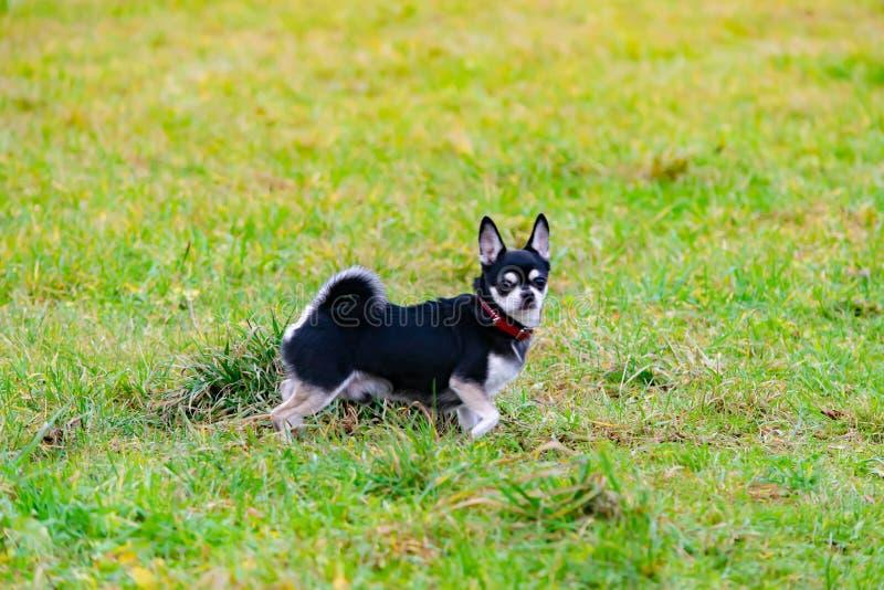 Chiwawa à cheveux longs Le jeune chien énergique marche dans le pré image libre de droits
