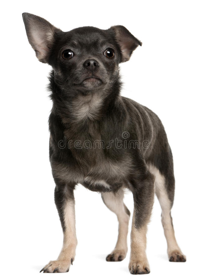 Chiwawa, 1 an, restant images stock