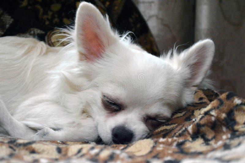 Chiwawa blanc de race de chien gentiment endormi photo stock
