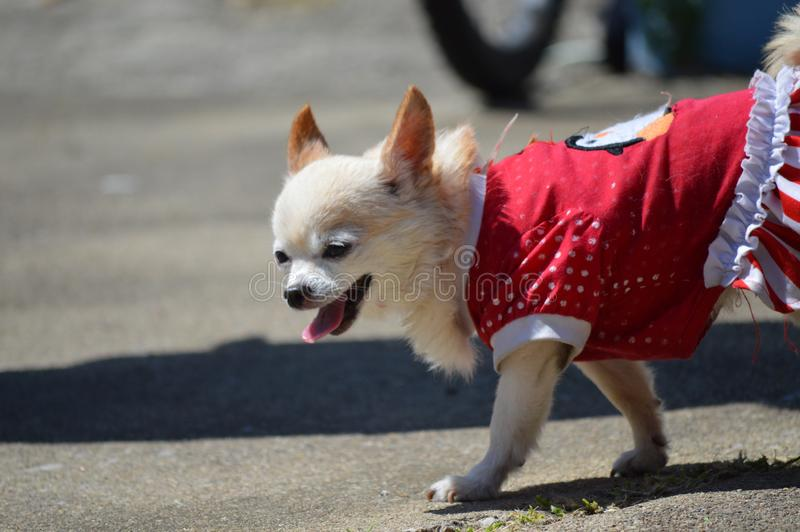 Chiwawa dans la robe rouge photo libre de droits