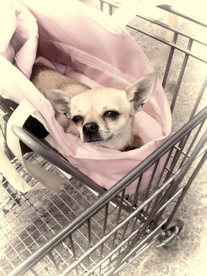 Chiwawa dans le chariot à achats image stock