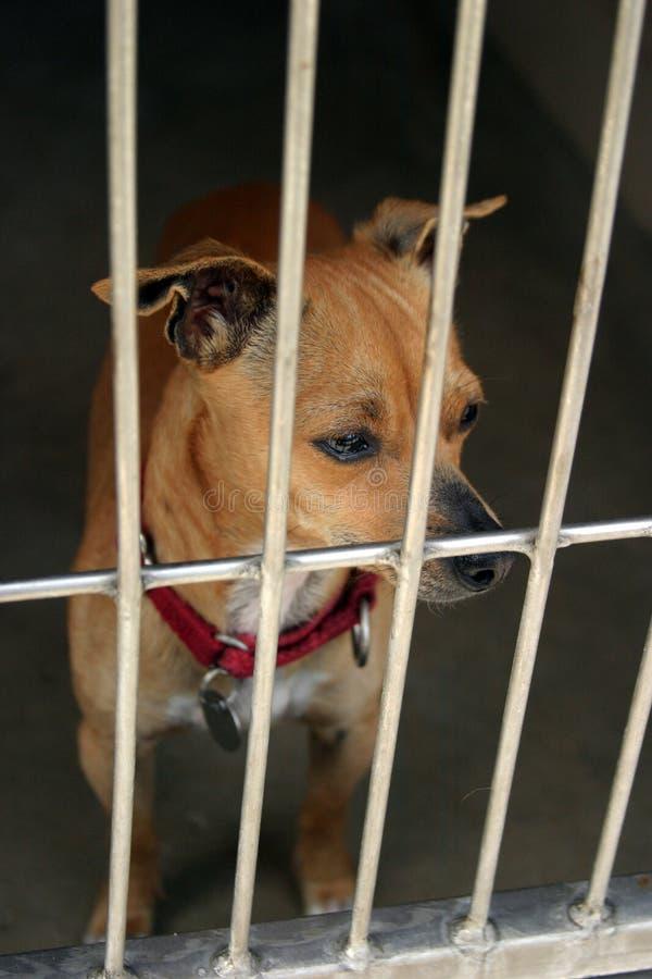 Chiwawa dans un chage à l'abri animal attendant pour être adopté image libre de droits