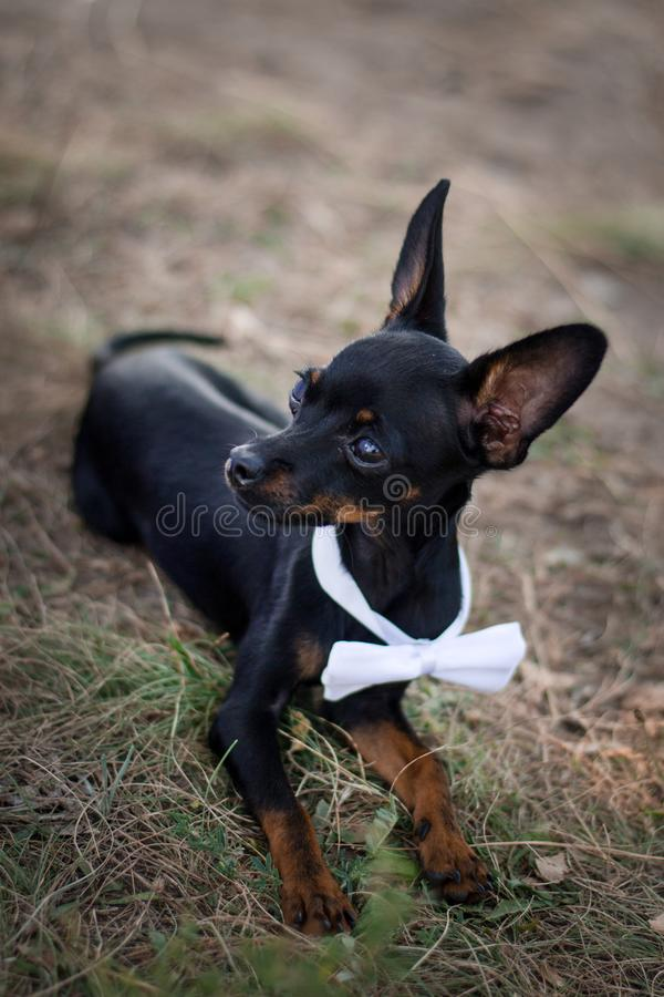 Chiwawa de chien dans un costume à un mariage Concept pour épouser des invités photos libres de droits