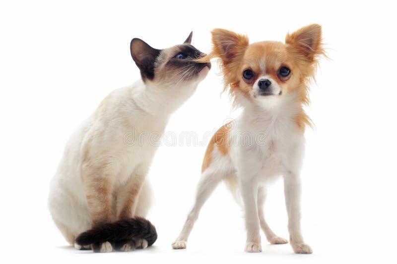 Chiwawa de chiot et chaton siamois photographie stock