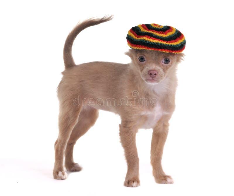 Chiwawa drôle avec le chapeau rastafarian d'isolement image stock