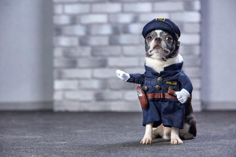 Chiwawa drôle dans le costume de policier Projectile de studio photo stock