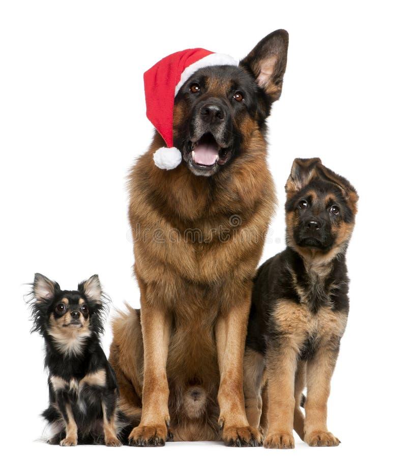 Chiwawa et bergers allemands avec le chapeau de Santa images stock