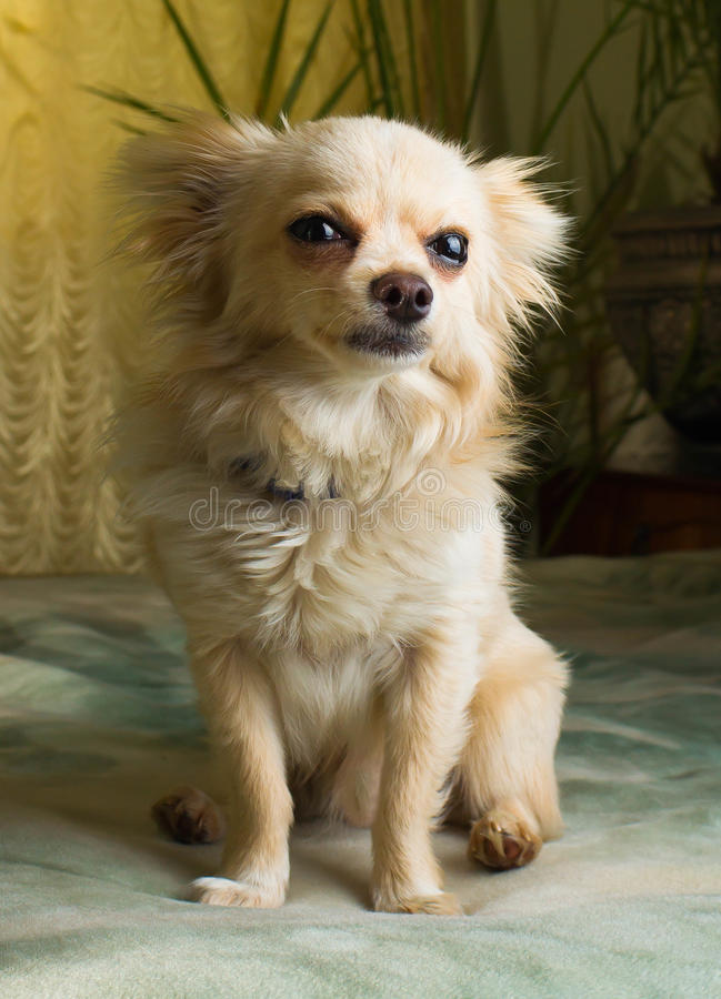Chiwawa heureux canin, gai, domestique, bonheur, écorçant, carnivore, coupe, heureusement image libre de droits
