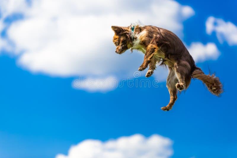 Chiwawa minuscule mignon sautant dans le ciel, photo drôle photographie stock