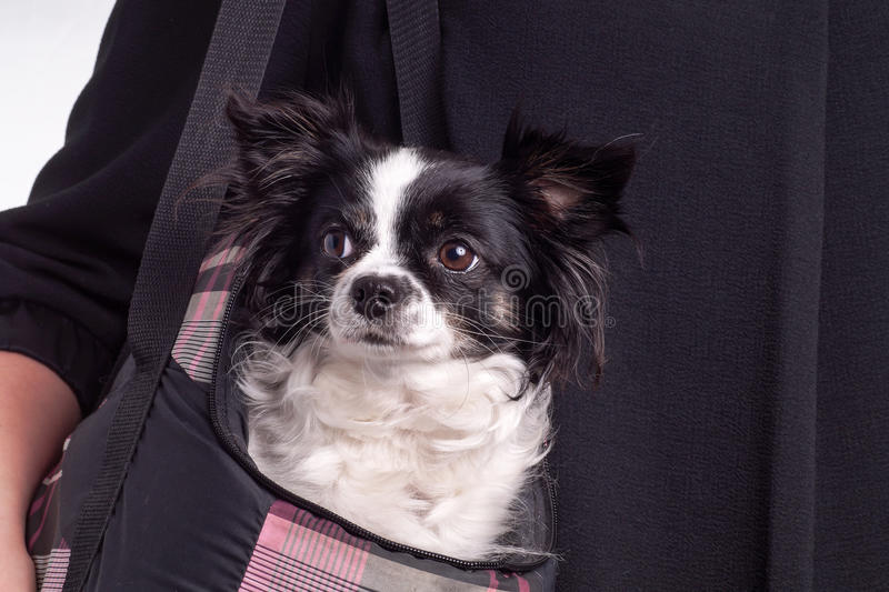 Chiwawa noir et blanc de chien d'accessoires photographie stock